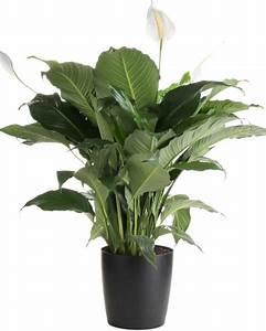 PEACE LILLY BIG – Dream Green – CHENNAI, TAMIL NADU ...