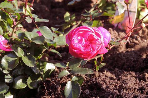 200 Rosen Für Die Lgs Deggendorf Gartentechnikde