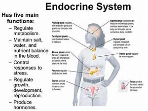What Does The Endocrine System Do Human Body Systems  Key