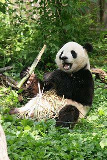 giant panda adaptations lesson  kids studycom
