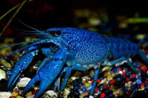 blue lobster blue crayfish  aquarium setup