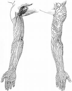 Lymphatic Vessels And Nodes Of The Arms