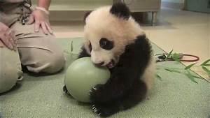 Cutest Panda in the World - YouTube