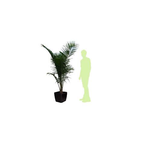 palmier de madagascar rempot 233 dans pot lechuza espresso plantes et jardins