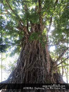 AURORA | Exploring The Old Balete Tree ~ MyInkTrails
