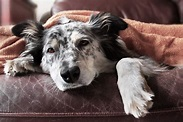 Symptoms of Rocky Mountain Spotted Fever in Dogs