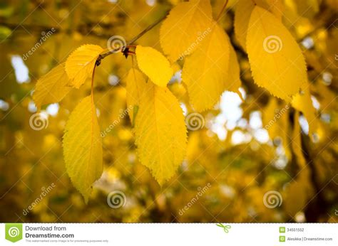 trees with yellow leaves in fall yellow leaves fall from the trees stock photography