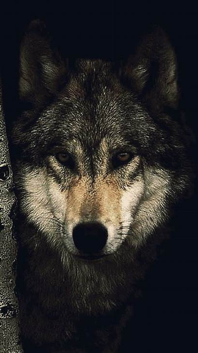 Wolf Mobile Phone Wallpapers Mb