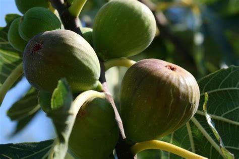 cuisiner les figues fraiches figue d été au jus de gingembre paperblog