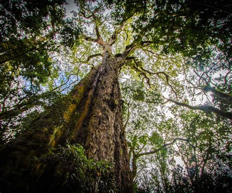 save  yellowwood south africas national tree