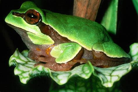 frog pine barrens tree frogs florida treefrog species hyla predation toads barren animals aquatic waters andersonii wildlife jersey state murky