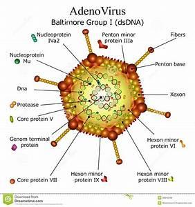 Diagram Of Adeno Virus Particle Structure Stock