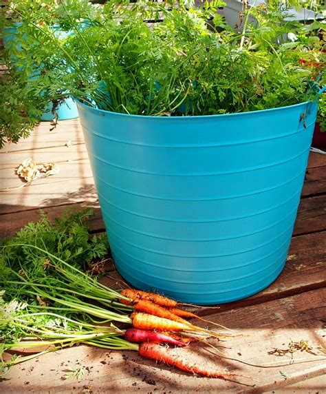 Growing Carrots In Containers How To Grow Carrots In Pots