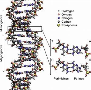 File Dna Structure Key Labelled Pn Nobb Png