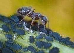 Ameisenplage Im Garten Bek Mpfen 2797 by Pin Bek 228 Mpfen Sie Die Ameisen Nicht Mit Gift Petera