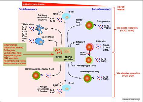 hsp immune system network trends  immunology