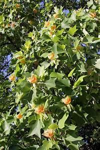 Tulpenbaum Pflege Schneiden Vermehrung