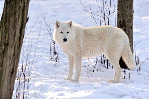 polarwolf polarwolf wolf wolf hunde