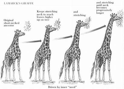 Evolution Giraffe Examples Example Explain Theory Darwin