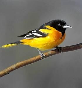 Bird Sounds and... Baltimore Orioles