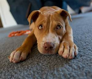 Cute Baby Red Nose Pitbulls | www.imgkid.com - The Image ...