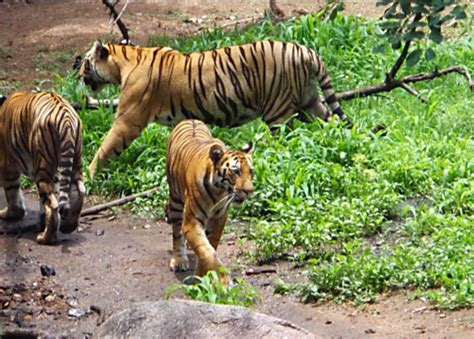 bengal tiger facts habitatpet  gallery tiger pet
