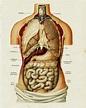 Vintage Medical Anatomy Human Organ Illustration Chart ...