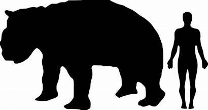 Human Diprotodon Compared Comparison Svg Giant Wombat