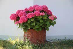 Hopfen Im Kübel Pflanzen : hortensien pflege 4 kleine pflegetipps ~ Markanthonyermac.com Haus und Dekorationen
