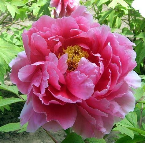 Peônia - Lindas e Delicadas   Flores - Cultura Mix