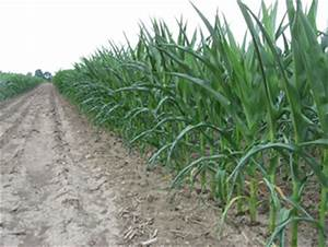 Development of Drought Tolerant Corn Hybrids - UNL ...