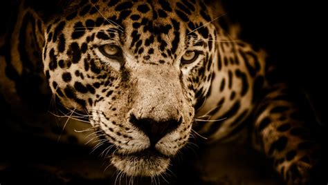 Woman Attempting Selfie Attacked by Jaguar   Fstoppers