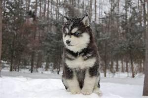 Black And White Husky Wolf Mix
