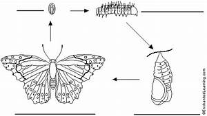 Label Butterfly Life Cycle In German  Printout