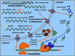 What Are The Roles Of Rrna In Protein Synthesis