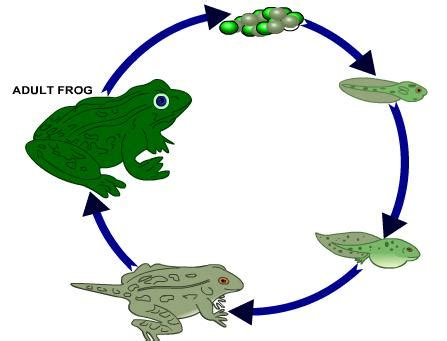 Tree Frog Life Cycle