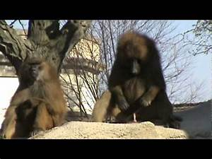 Baboon Spanking The Monkey