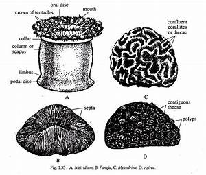 Phylum Cnidaria  Classification And Features
