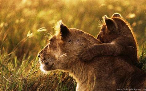 wallpapers  lion lion cub family cub