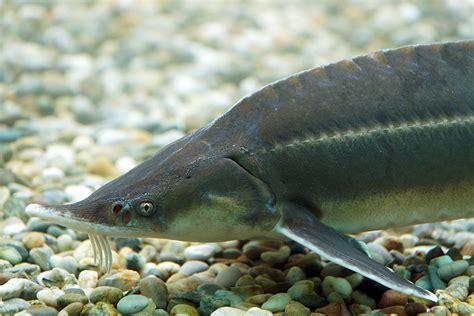 Sterlet (acipenser Ruthenus) Fischlexikon