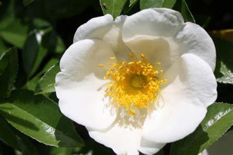 georgia state flower cherokee rose