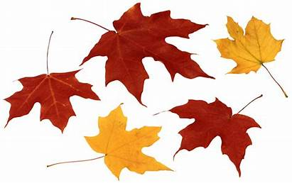 Leaves Leaf Fall Transparent Clipart Clip Autumn
