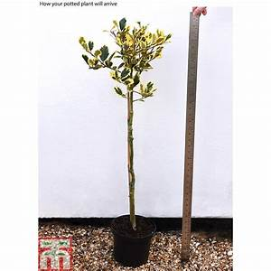 Holly  U0026 39 Golden King U0026 39   Standard Tree  Plants