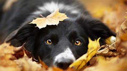 Border Collie Wallpapers Dogs Dog 1080 Autumn