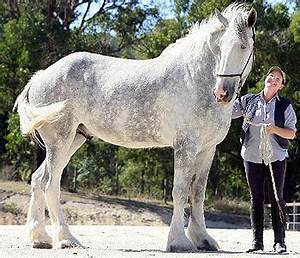 Pictures of the tallest horses in the world | All Horse Breeds