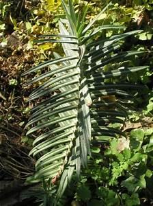 Pflanzen Gegen Maulwürfe : kreuzbl ttrige wolfsmilch ~ Watch28wear.com Haus und Dekorationen