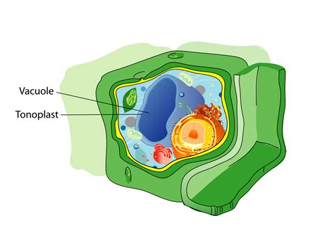 File Plant Cell Structure Svg Vacuole Wikipedia