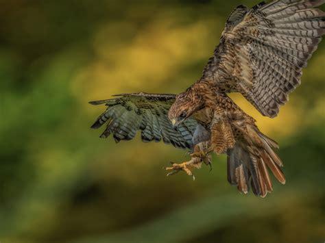 red tailed hawk bird birds  prey bird populated