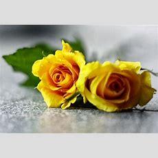 All 4u Hd Wallpaper Free Download Yellow Rose Wallpapers