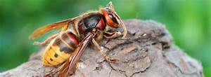 7 Facts About Hornets